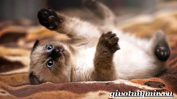 Сиамская-кошка-Особенности-образ-жизни-и-уход-за-сиамской-кошкой-6