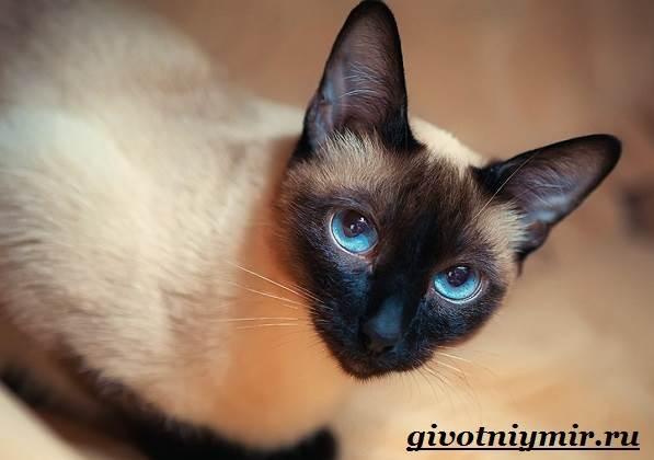 Сиамская-кошка-Особенности-образ-жизни-и-уход-за-сиамской-кошкой-8
