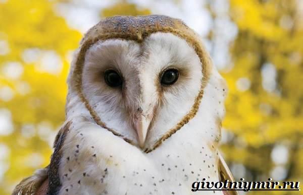 Сипуха-птица-Образ-жизни-и-среда-обитания-птицы-сипухи-1
