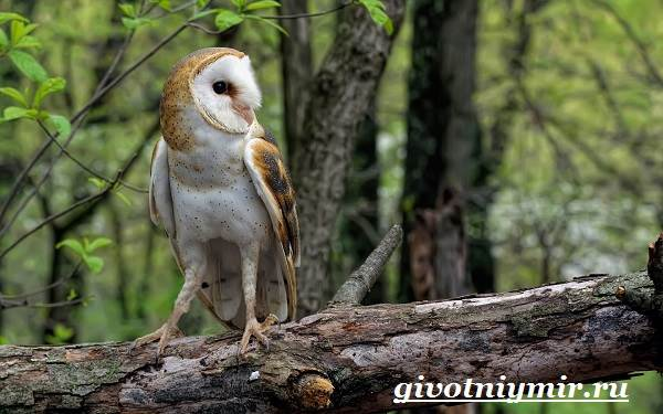 Сипуха-птица-Образ-жизни-и-среда-обитания-птицы-сипухи-2
