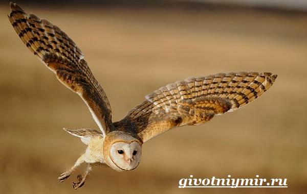 Сипуха-птица-Образ-жизни-и-среда-обитания-птицы-сипухи-3