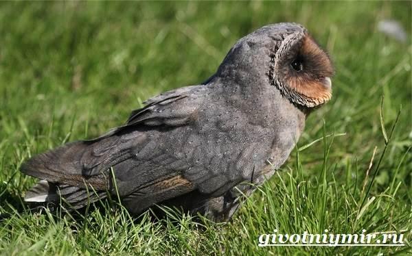 Сипуха-птица-Образ-жизни-и-среда-обитания-птицы-сипухи-5
