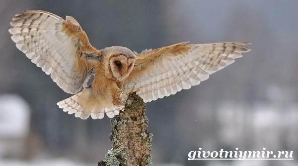 Сипуха-птица-Образ-жизни-и-среда-обитания-птицы-сипухи-6
