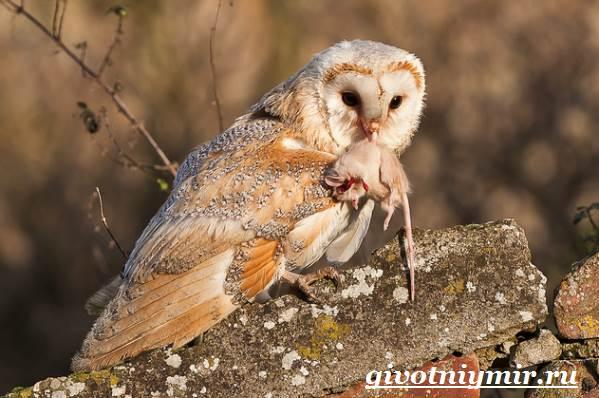 Сипуха-птица-Образ-жизни-и-среда-обитания-птицы-сипухи-7