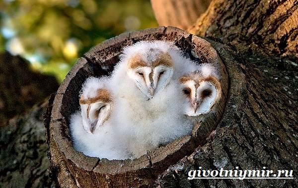 Сипуха-птица-Образ-жизни-и-среда-обитания-птицы-сипухи-8