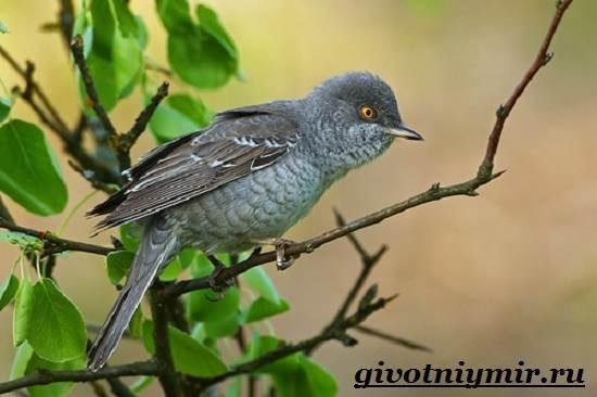 Славка-птица-Образ-жизни-и-среда-обитания-птицы-славки-5