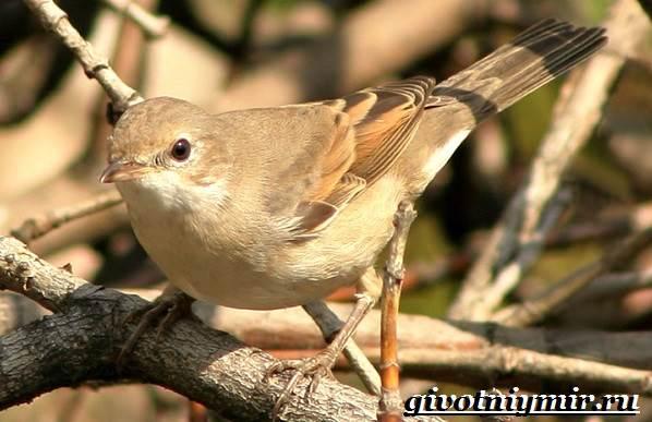 Славка-птица-Образ-жизни-и-среда-обитания-птицы-славки-6