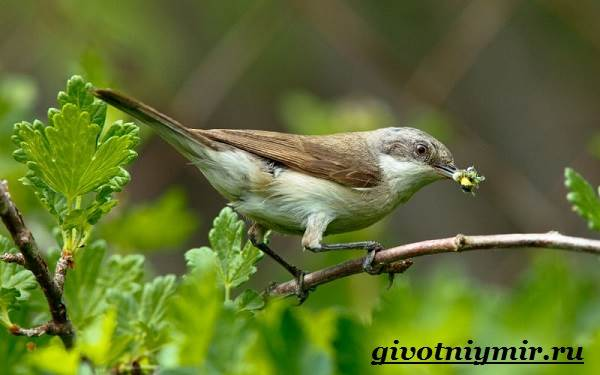 Славка-птица-Образ-жизни-и-среда-обитания-птицы-славки-7