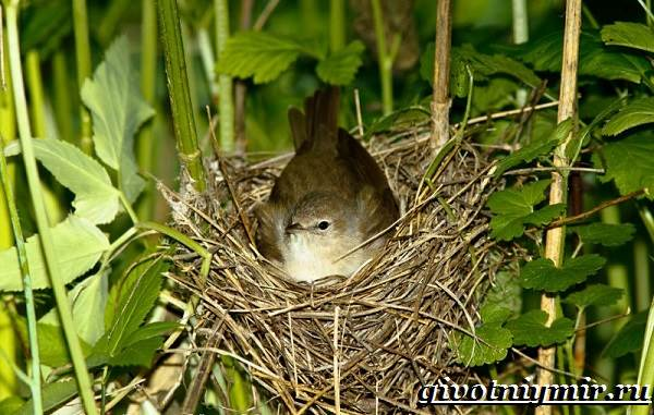 Славка-птица-Образ-жизни-и-среда-обитания-птицы-славки-8