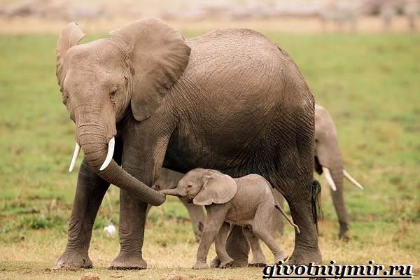 Слон-животное-Образ-жизни-и-среда-обитания-слона-10