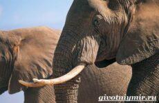 Слон животное. Образ жизни и среда обитания слона