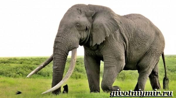 Слон-животное-Образ-жизни-и-среда-обитания-слона-4