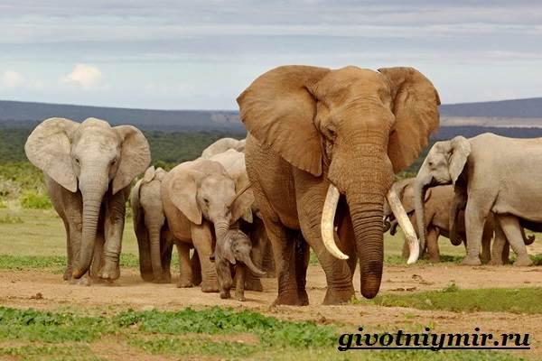 Слон-животное-Образ-жизни-и-среда-обитания-слона-7