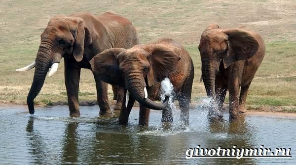 Слон-животное-Образ-жизни-и-среда-обитания-слона-8