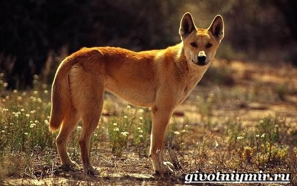 Собака-динго-Образ-жизни-и-среда-обитания-собаки-динго-1