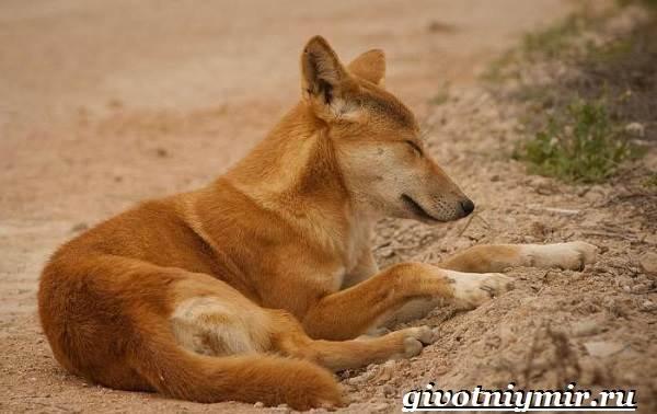 Собака-динго-Образ-жизни-и-среда-обитания-собаки-динго-3