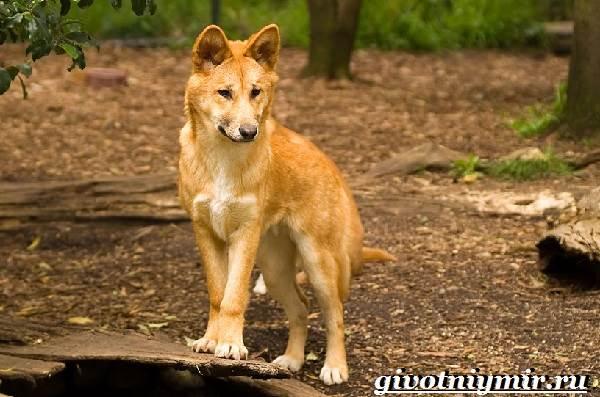 Собака-динго-Образ-жизни-и-среда-обитания-собаки-динго-4