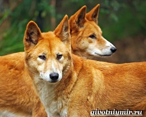 Собака-динго-Образ-жизни-и-среда-обитания-собаки-динго-5