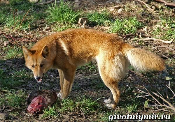 Собака-динго-Образ-жизни-и-среда-обитания-собаки-динго-6