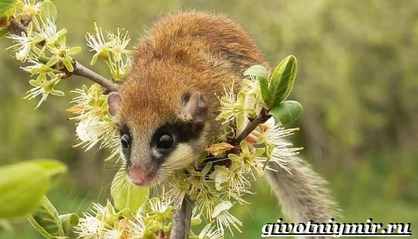Соня-животное-Образ-жизни-и-среда-обитания-сони-1