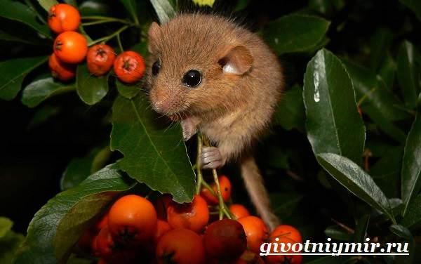 Соня-животное-Образ-жизни-и-среда-обитания-сони-7
