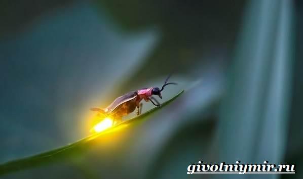Светлячок-насекомое-Образ-жизни-и-среда-обитания-светлячка-1
