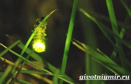 Светлячок-насекомое-Образ-жизни-и-среда-обитания-светлячка-5