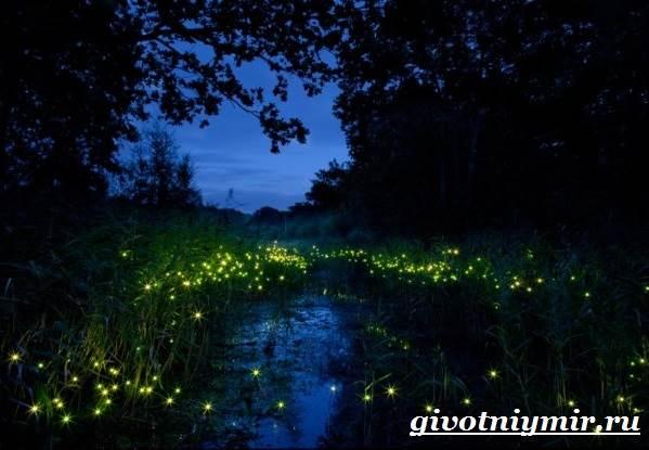 Светлячок-насекомое-Образ-жизни-и-среда-обитания-светлячка-7