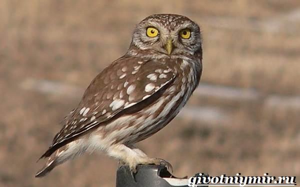 Сыч-птица-Образ-жизни-и-среда-обитания-сыча-1