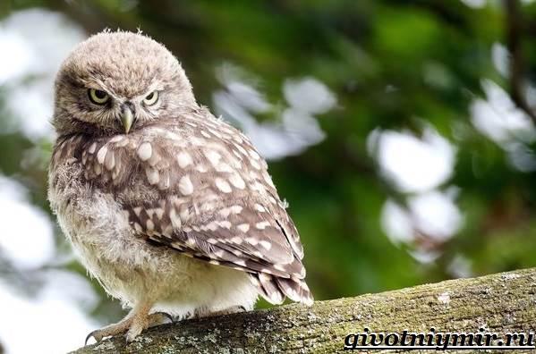 Сыч-птица-Образ-жизни-и-среда-обитания-сыча-2