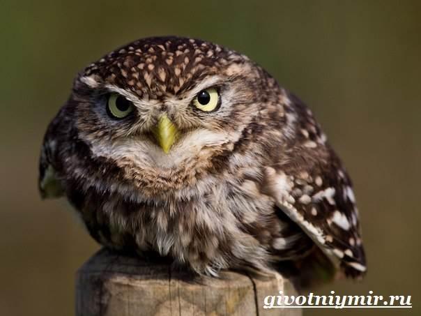 Сыч-птица-Образ-жизни-и-среда-обитания-сыча-3