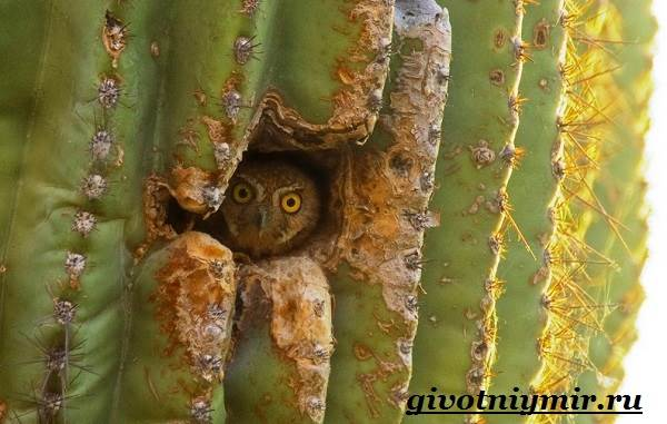 Сыч-птица-Образ-жизни-и-среда-обитания-сыча-4