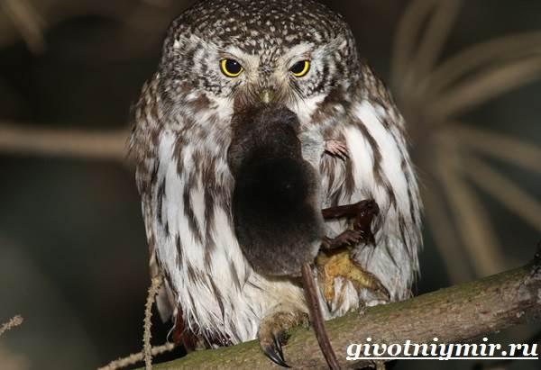 Сыч-птица-Образ-жизни-и-среда-обитания-сыча-5
