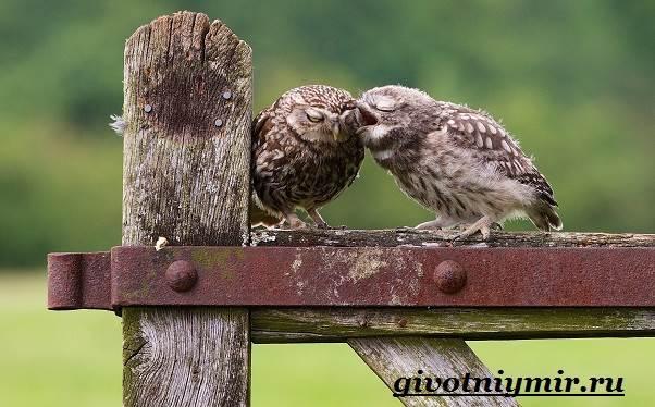 Сыч-птица-Образ-жизни-и-среда-обитания-сыча-7