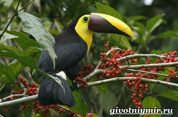Тукан-птица-Образ-жизни-и-среда-обитания-тукана-11