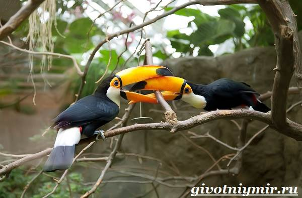 Тукан-птица-Образ-жизни-и-среда-обитания-тукана-4