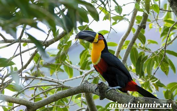 Тукан-птица-Образ-жизни-и-среда-обитания-тукана-5