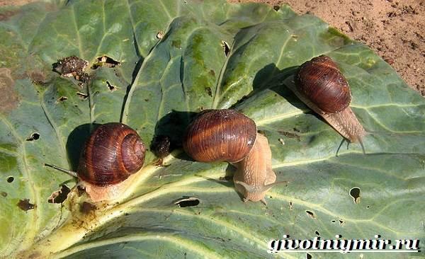 Улитка-виноградная-Образ-жизни-и-среда-обитания-улитки-виноградной-8
