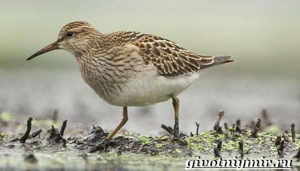 Вальдшнеп-птица-Образ-жизни-и-среда-обитания-вальдшнепа-2