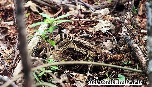Вальдшнеп-птица-Образ-жизни-и-среда-обитания-вальдшнепа-3