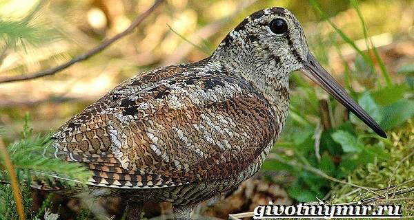 Вальдшнеп-птица-Образ-жизни-и-среда-обитания-вальдшнепа-4