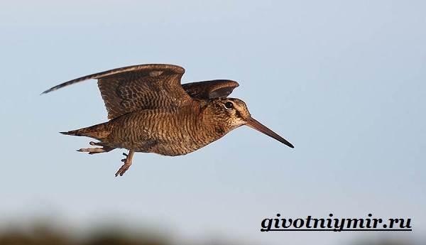Вальдшнеп-птица-Образ-жизни-и-среда-обитания-вальдшнепа-6