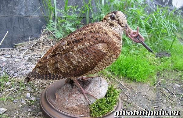 Вальдшнеп-птица-Образ-жизни-и-среда-обитания-вальдшнепа-7