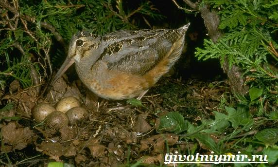 Вальдшнеп-птица-Образ-жизни-и-среда-обитания-вальдшнепа-8