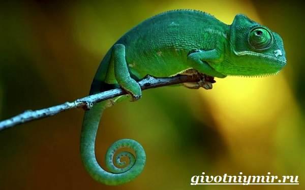Хамелеон-животное-Образ-жизни-и-среда-обитания-хамелеона-2