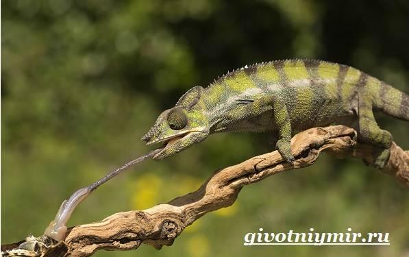 Хамелеон-животное-Образ-жизни-и-среда-обитания-хамелеона-4