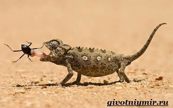 Хамелеон-животное-Образ-жизни-и-среда-обитания-хамелеона-7