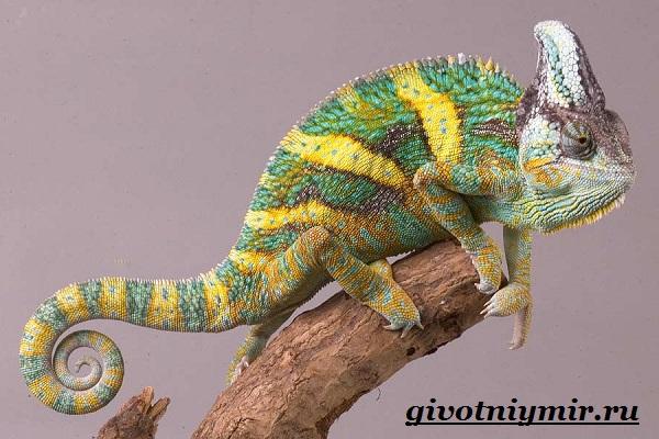 Хамелеон-животное-Образ-жизни-и-среда-обитания-хамелеона-9