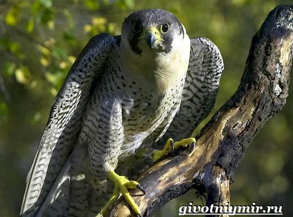 Балобан-птица-Образ-жизни-и-среда-обитания-птицы-балабан-1