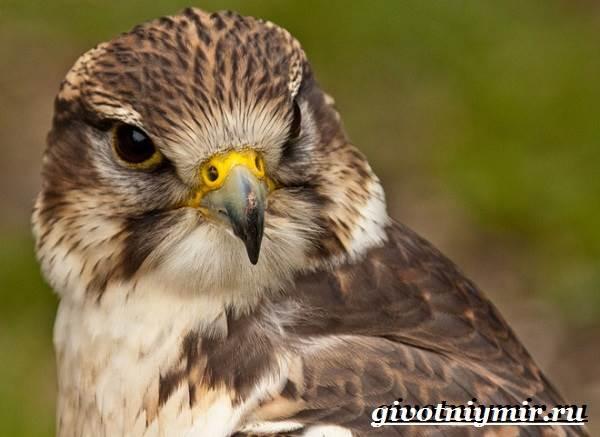 Балобан-птица-Образ-жизни-и-среда-обитания-птицы-балабан-2